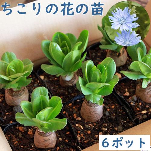 ちこりの花の苗