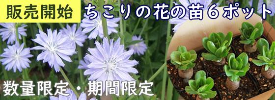 今年も販売開始「ちこりの花の苗6本」